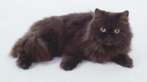 Фото, опис кішок породи Йоркська шоколадна, характеристика для домашнього розведення і утримання.