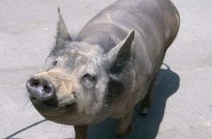 Фото, опис породи Мексиканської лисої свині, характеристика для домашнього розведення.