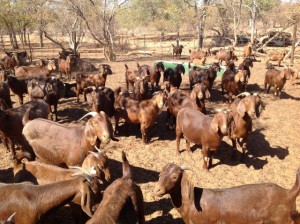 Photos, description breed Kalahari Reds goats, characteristic for home breeding