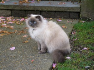 Photos, description breed cats Himalayan, characteristic for home breeding