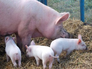 Photos, description Livny Pig, characteristic for home breeding