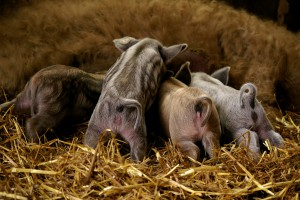 Hungarian Mangalica pigs, photo content