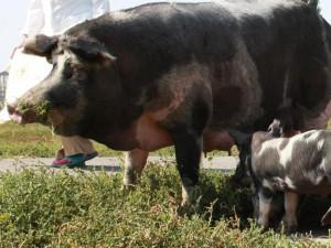 Photos, description myrhorod pig, characteristic for home breeding and maintenance