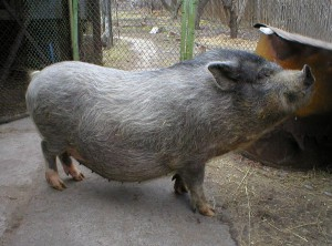 Photos, description Murom breed pigs, characteristic for home breeding and maintenance