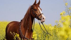 Фото, опис Новокиргизськой породи коней, характеристика для домашнього розведення.