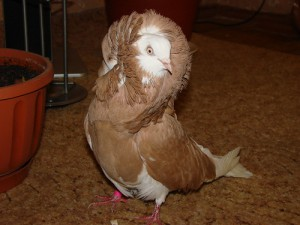 Photos, description breed pigeons - Jacobine, characteristic for home breeding and maintenance.
