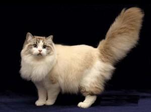Фото, опис кішок породи Рагамаффін, характеристика для домашнього розведення і утримання.