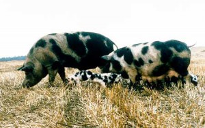 Photos, description of the North Caucasian breed pigs, characteristic for home breeding