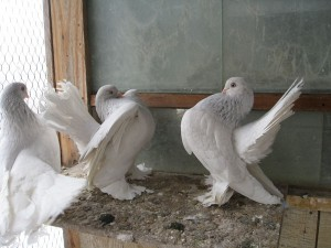 Photos, breed description - stately pigeons, characteristic for home breeding and maintenance