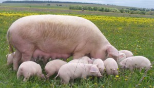 Photos, description of major Ukrainian steppe white pig, characteristic for home breeding