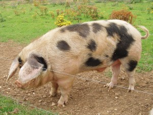 Photos, description Ukrainian steppe pock-marked breed pigs, characteristic for home breeding