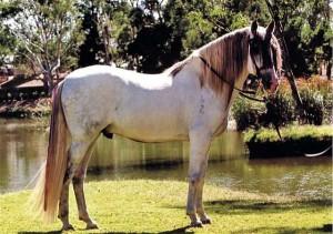 Фото, опис коня іспанської Андалузької породи, характеристика, розведення.