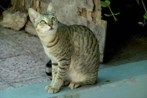 Фото, опис кішки породи Аравійський Мау, характеристика для домашнього розведення і утримання.