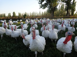 Photos, description breed turkey white chested, characteristic for home breeding and maintenance