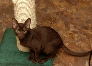 Фото, опис кішки породи Гавана Браун, характеристика для домашнього розведення і утримання.