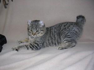 Фото, опис кішки породи Хайлендер, характеристика, догляд.