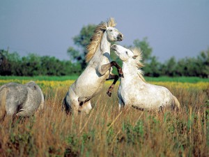 Photos, description horses Camargue breed characteristics