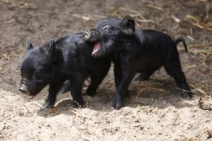 Фото, опис породи гвінейських свиней, характеристика міні-піга для домашнього розведення.