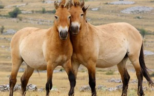 Фото, опис дикого коня Пржевальського породи, характеристика для домашнього розведення і утримання.
