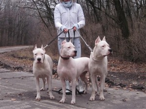 Фото, опис собак породи Аргентинський дог, характеристика для домашнього утримання і розведення.