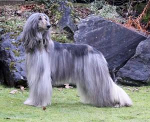 Фото, опис собак породи Афганський хорт, характеристика для домашнього розведення і утримання.