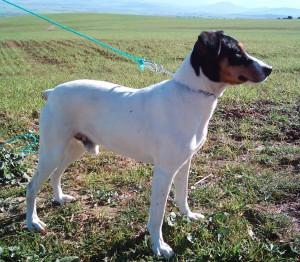 Фото, опис собак породи Андалузький трактирний щуролов, характеристика для розведення.