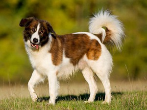 Photos, description Aidi dog breed, characteristic for home breeding and maintenance
