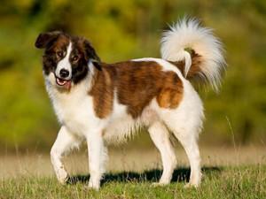 Фото, опис собак породи Аїді, характеристика для домашнього розведення і утримання.