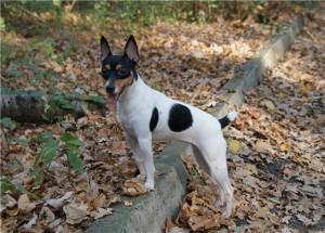 Фото, опис собак породи Американський той-тер'єр, характеристика для домашнього утримання і розведення.