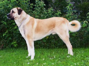 Photos, description breed dog Anatolian Shepherd Dog, characteristic for cultivation and maintenance of the house