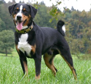 Photo, dog breed description of the Appenzeller mountain dog characteristics for cultivation and maintenance of the house