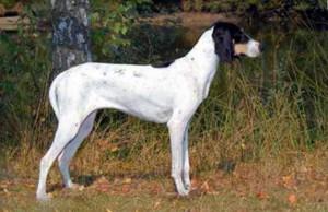 Photos, description Arezhua dog breed, characteristic for home breeding and maintenance