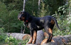 Фото, опис собак породи Брандл бракк, характеристика для домашнього розведення і утримання.