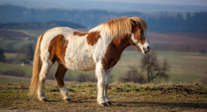 Photography, Icelandic Horse breed description, characteristics