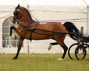 Photos, description Hackney horses breed characteristics