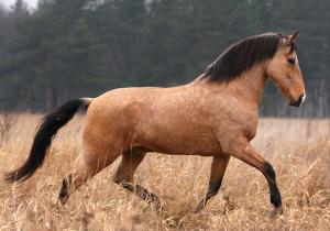 Photos, description Portuguese breed horses - Lusitanian, characteristics