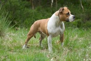 Фото, опис собак породи Американський стаффордширський тер'єр, характеристика для домашнього розведення і утримання в будинку.