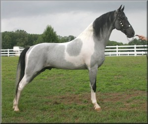 Photos, description of Tennessee walking horse breed, characteristic