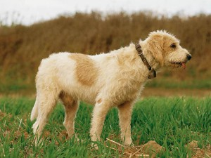 Photos, description dog breed Griffon Vendeen, characteristic for home breeding