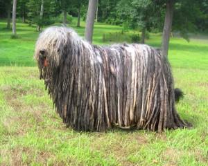 Photos, description breed dog Bergamo shepherds, characteristic for home breeding