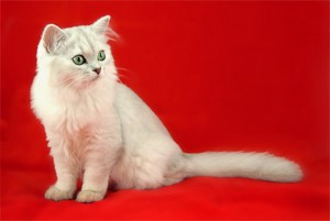 Photos, description, long-haired cat breeds Burmilla, characteristic for home breeding and maintenance