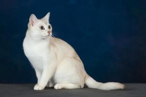 Photos, description breed shorthair cats Burmilla, characteristic for home breeding and maintenance
