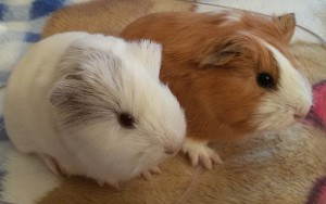 Photos, description guinea pigs breed Longhair sheltie, characteristic for home breeding and maintenance