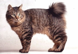 Photos, description Karelian Bobtail cat breed, characteristic for home breeding and maintenance