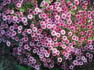 How to treat melkotsvetnymi chrysanthemums