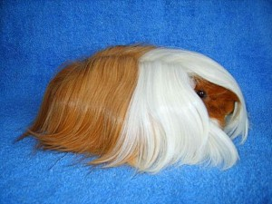 Photos, description breed Peruvian guinea pig, characteristic for home breeding and maintenance