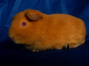 Photos, description guinea pig breed Self English, characteristic for home breeding and maintenance