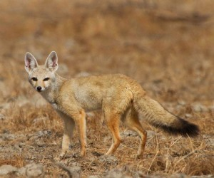 Photos, description pale fox. Features of life characteristics
