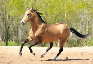 Photos, description of Akhal-Teke horse breed, characteristic for home breeding and maintenance