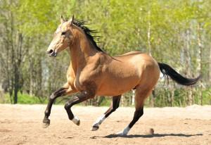 Фото, опис коней породи Ахалтекінська, характеристика для домашнього розведення і утримання.